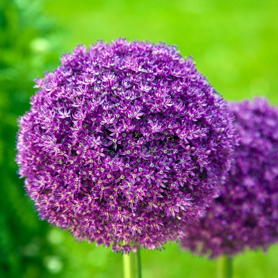 Allium gigantum (LF)